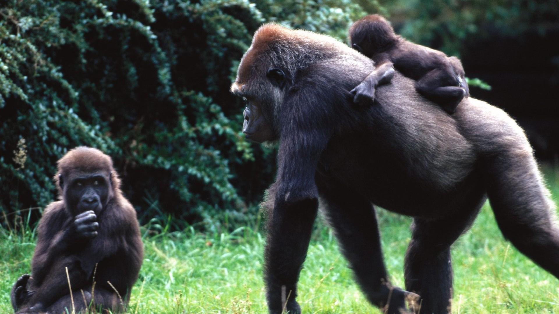 Сонники: к чему снится обезьяна?