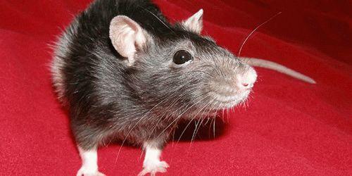 К чему сниться дохлая крыса