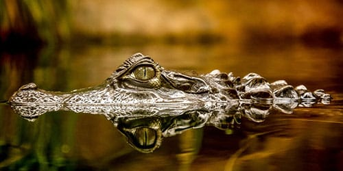 К чему снится крокодил. видеть во сне крокодил - сонник дома солнца
