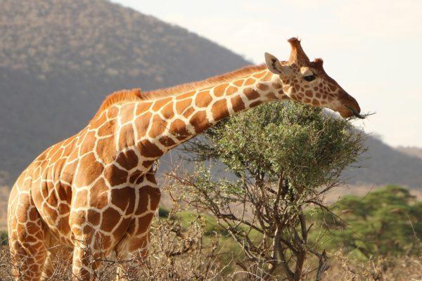 Жираф бежит