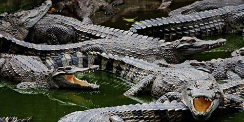«крокодил к чему снится во сне? если видишь во сне крокодил, что значит?»