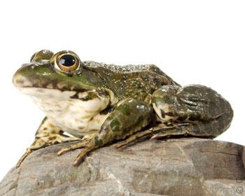 К чему снится лягушка во сне — по 90 сонникам! если видишь во сне лягушка что значит?