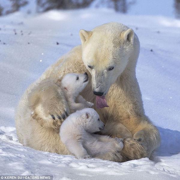 Видеть во сне медведя: толкование по сонникам