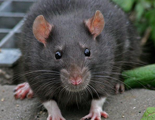 Сонник крыса белая. к чему снится крыса белая видеть во сне - сонник дома солнца