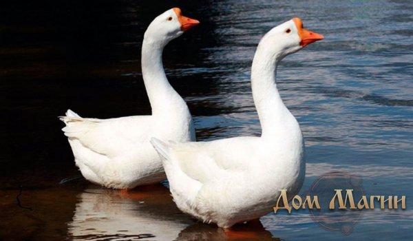 Белые гуси снятся
