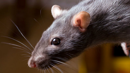 К чему снятся крысы