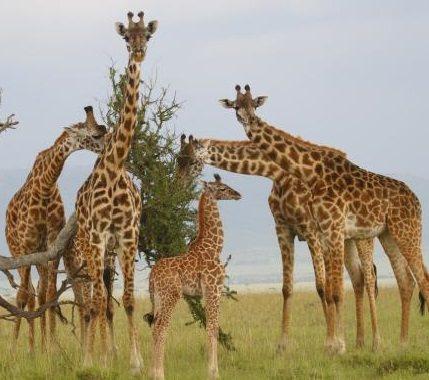 Сонник жираф приснился, к чему снится жираф во сне видеть?