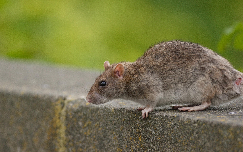 Дохлые крысята