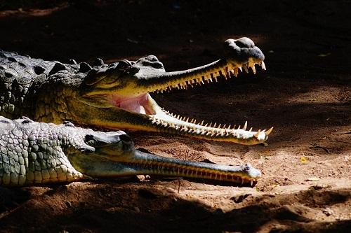 Приснился крокодил во сне: значение по соннику