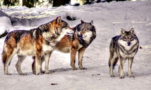 К чему снится волк женщине по сонникам