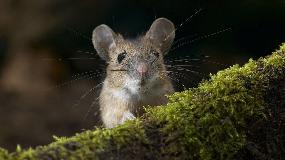 Поймать белую мышь руками