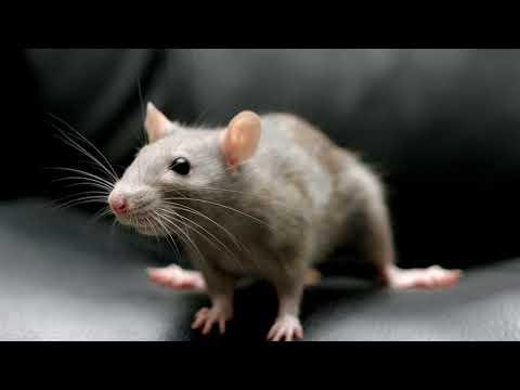 Крыса белая нападает