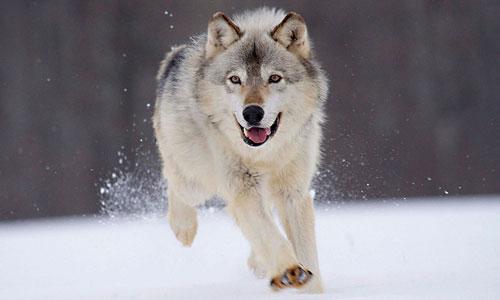 К чему снятся волки: мужчине, женщине, стая волков во сне.
