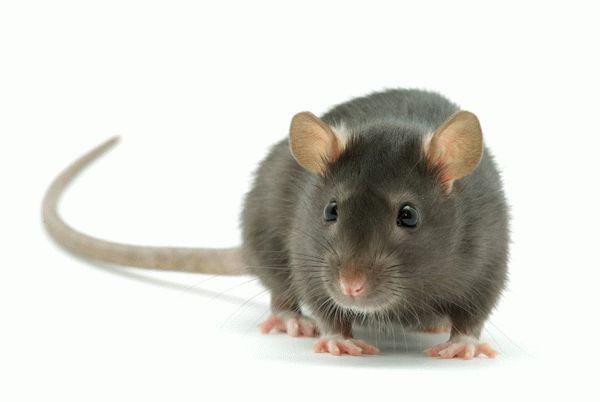 Сонник крыса, к чему снится крыса, во сне крыса