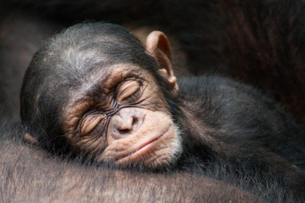 Сонник обезьяна и кошки. к чему снится обезьяна и кошки видеть во сне - сонник дома солнца