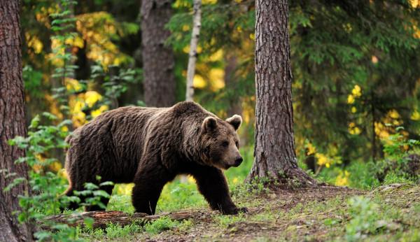 Сонник медведь, к чему снится медведь во сне