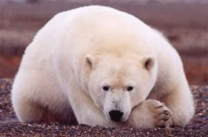 Приснился белый медведь: особенности значение по основным сонникам