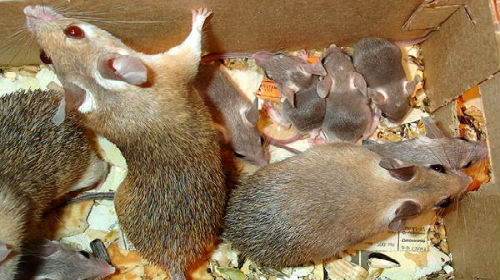 Сонник мышь мышонок. к чему снится мышь мышонок видеть во сне - сонник дома солнца