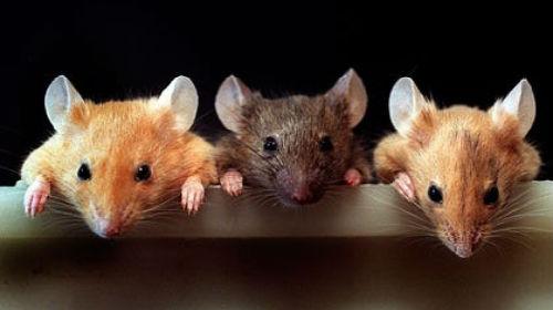 Сонник мышь ласковая. к чему снится мышь ласковая видеть во сне - сонник дома солнца