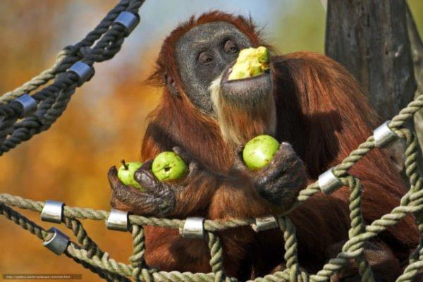«сонник обезьяна приснилась, к чему снится во сне обезьяна»