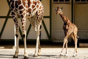 К чему снится жираф во сне — по 90 сонникам! если видишь во сне жираф что значит?