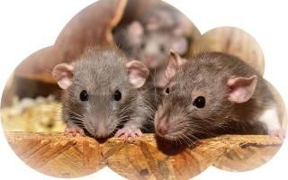 К чему снится крыса?