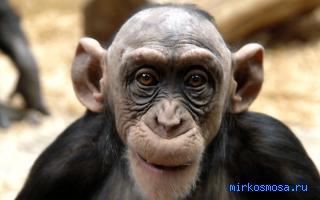 К чему снится обезьяна? сонник - обезьяна приснилась во сне и что означает?