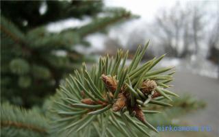 Сонник собирать еловые и сосновые ветки. к чему снятся ели — по соннику цветкова. еловые ветки на земле