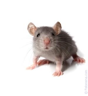 Сонник мышь дома. к чему снится мышь дома видеть во сне - сонник дома солнца