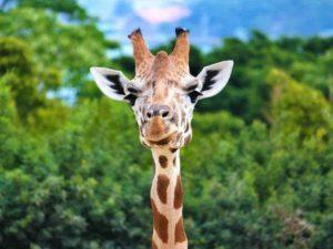 Сонник жираф животное. к чему снится жираф животное видеть во сне - сонник дома солнца