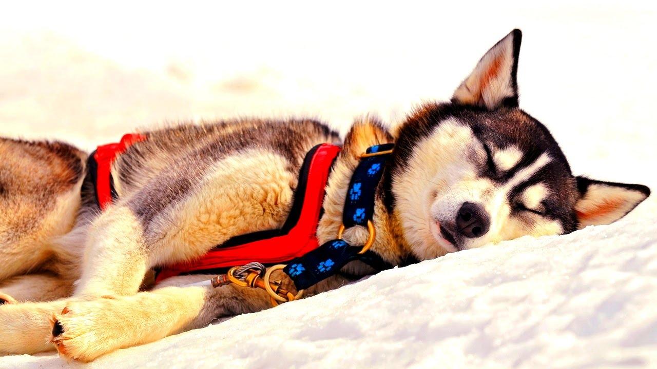 К чему снится волк?