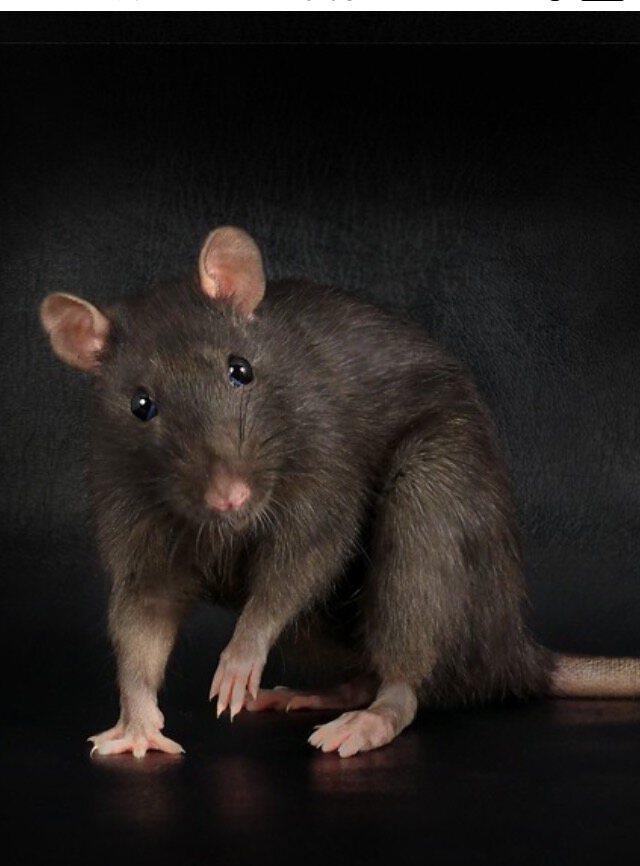 К чему снятся крысы — точное толкование, что значит