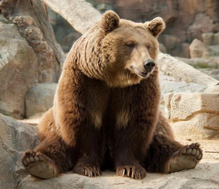 К чему снится медведь: толкование по различным сонникам