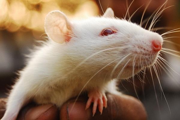Сонник крыса приснилась, к чему снится крыса во сне видеть?