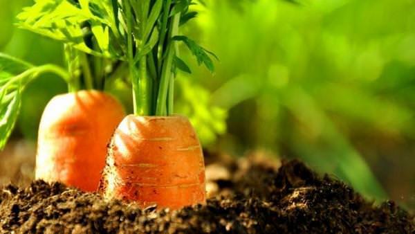 К чему снится собирать морковь с грядки. почему приснилась морковь: нюансы расшифровки по сонникам
