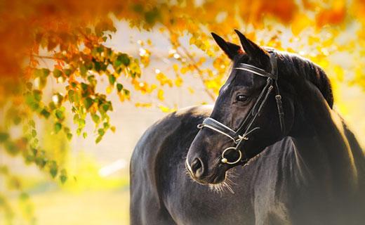 К чему снится лошадь, конь?