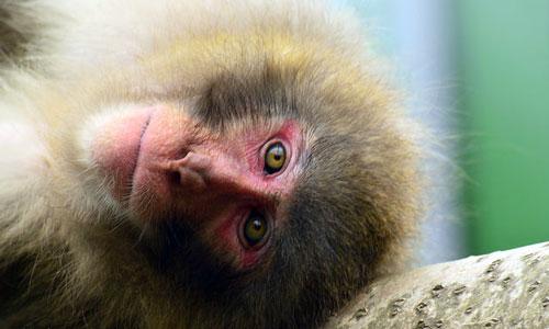 Сонник обезьяны стая. к чему снится обезьяны стая видеть во сне - сонник дома солнца