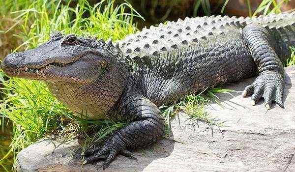 Сонник к чему снятся крокодилы. к чему снится к чему снятся крокодилы видеть во сне - сонник дома солнца
