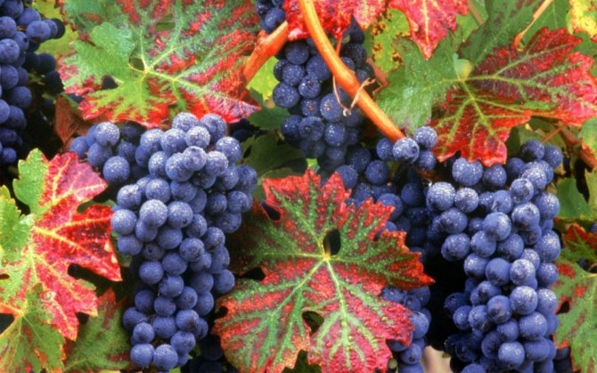 Сонник рассыпанный виноград по полу. к чему снится рассыпанный виноград по полу видеть во сне - сонник дома солнца