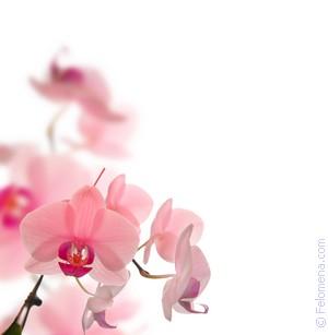 «сонник роза приснилась, к чему снится во сне роза»