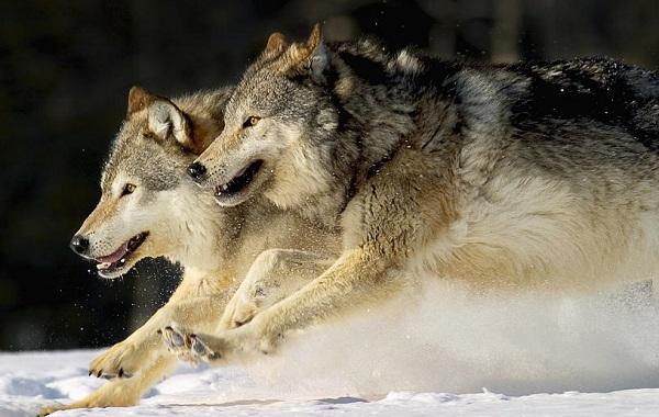 Образ волка во сне