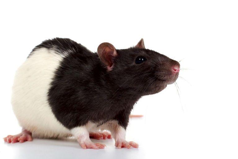 Сонник: видеть крысу во сне для женщины