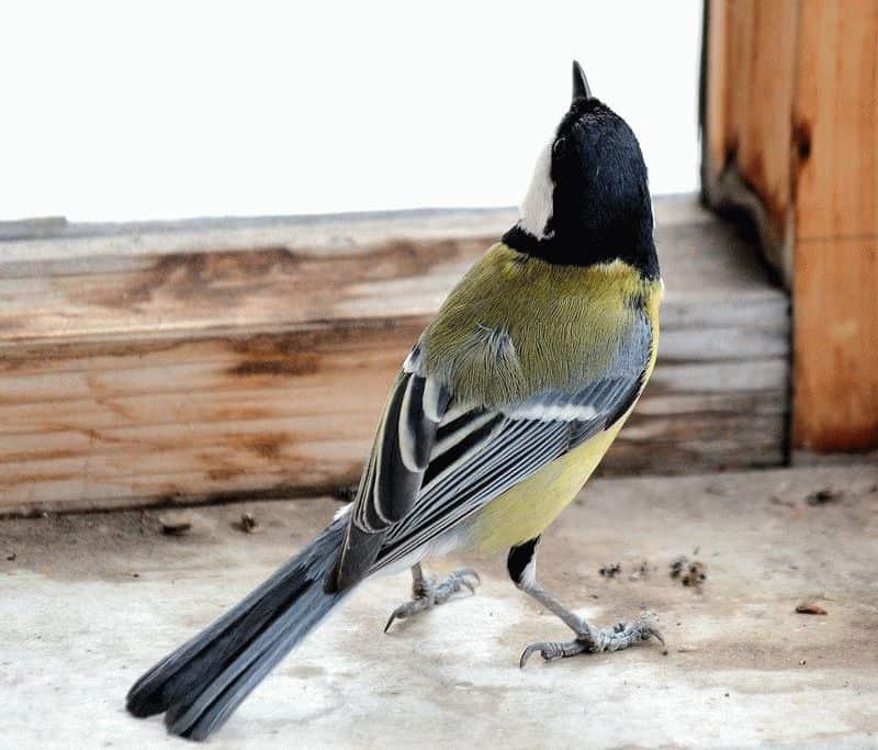 Птица залетевшая в квартиру