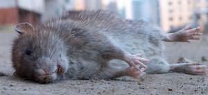 Сонник дохлая крыса и дохлые кошки. к чему снится дохлая крыса и дохлые кошки видеть во сне - сонник дома солнца