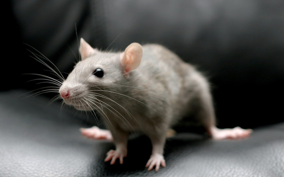Сонник мыши, к чему снятся мыши во сне