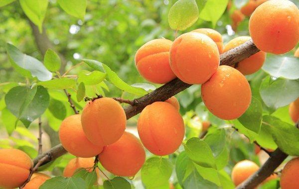 Сонник абрикос на ветке. к чему снится абрикос на ветке видеть во сне - сонник дома солнца