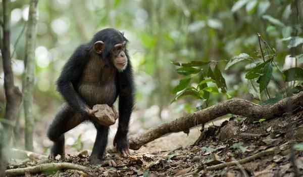 К чему снится обезьяна – толкования в различных сонниках к чему снится обезьяна – толкования в различных сонниках