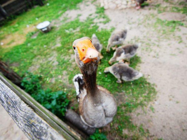 Гуси и утки белые