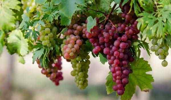 Рассыпанный виноград по полу