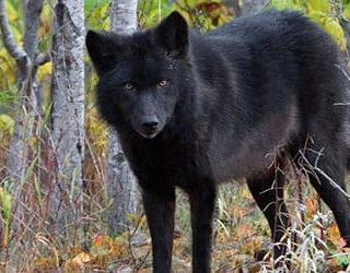 «сонник волк приснился, к чему снится во сне волк»